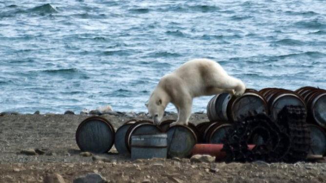 Latem niedźwiedzie pożywiają się u ludzi