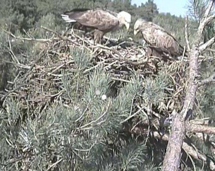 Bieliki to bardzo opiekuńcze ptaki (lasy.gov)